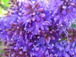 PurpleBursts